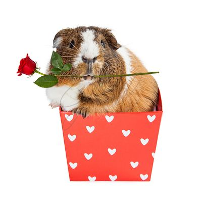 Guinea Pig In Heart Box Holding Rose