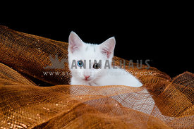 Playful White Kitten Sitting in Holiday Mesh