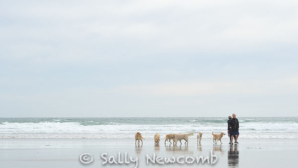 Golden Retrievers on Carne Beach, Cornwall