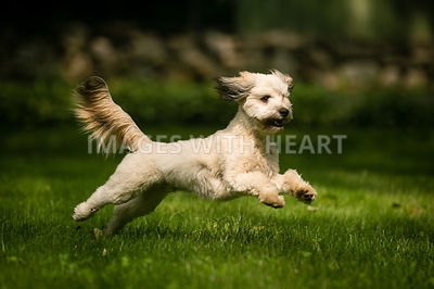 Small white shaggy dog prancing on green grass.jpg