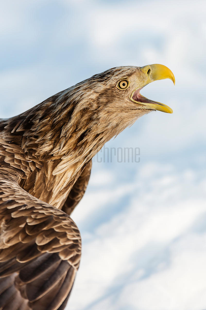 White Tailed Eagle Portrait