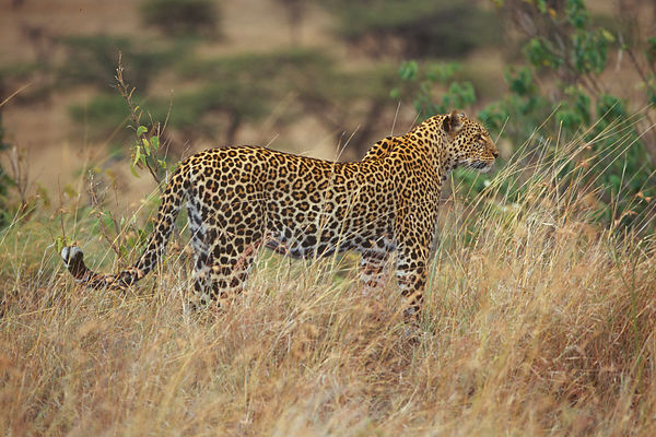 Leopard Standing in Long Grass