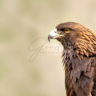 American Golden Eagle