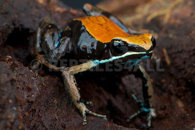 Brown mantella (Mantella betsileo)