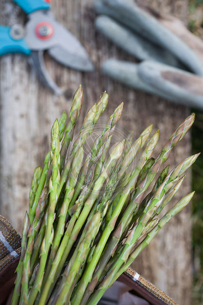 mallorcan grown wild asparagus with rustic wood on garden grass, with knife and gardening glove