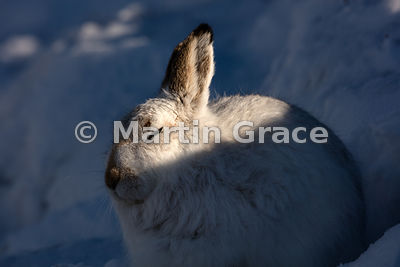 Mountain Hare (Arctic Hare) (Lepus timidus) sitting up in its form in the snow to take advantage of the warmth of the winter ...