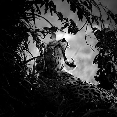 Cheetah yawning under a tree © Laurent Baheux
