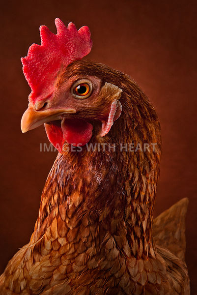 rhode island red chicken portrait