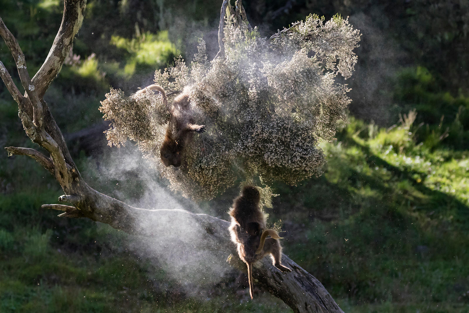 A Gelada Baboon Family Plays in a Tree Laden with Pollen