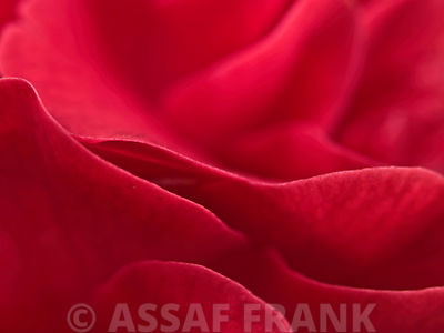 Red camellia (Camellia japonica), close-up, Full frame