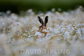 Brown Hare Lepus europaeus in Ox-eye Daisies Norfolk summer