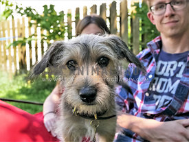 terrier puppy sitting in lap of owners outside
