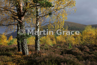 Sunlit autumnal birch trees (Betula sp) with Scots Pines (Pinus sylvestris var scotica), Glen Feshie, Inverness-shire, Scotland