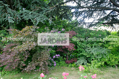 Bush, Conifer, Digital, Downy Japanese Maple, Ornamental foliage, Plants, Plants for ericaceous soils, Shadow, Tree, Variegat...