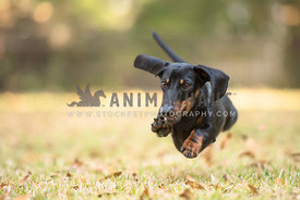 black and tan dachshund running 4 paws off the ground