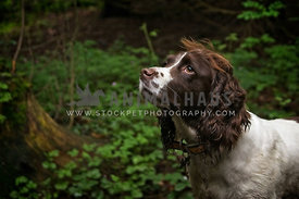 side portrait of cocker spaniel in woodland