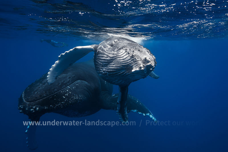 Face to face with Humpback Whale.