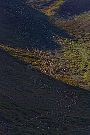 Aerial view of Caribou (Rangifer tarandus) herd climbing mountain during summer migration, Arctic National Wildlife Refuge, A...