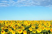 Sunflower field and blue sky in summer, Provence, France