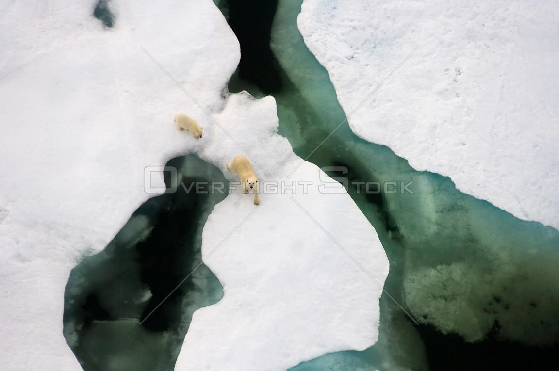 Polar bear (Ursus maritimus) aerial view of sow with cub along the Arctic coast in summer, near Point Barrow, Alaska, USA. July.