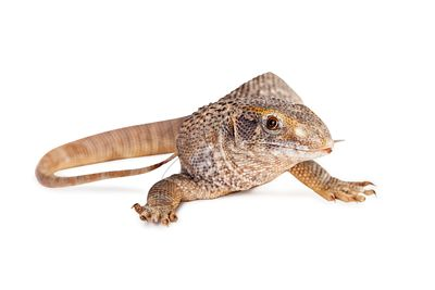 Savannah Monitor Lizard Over White