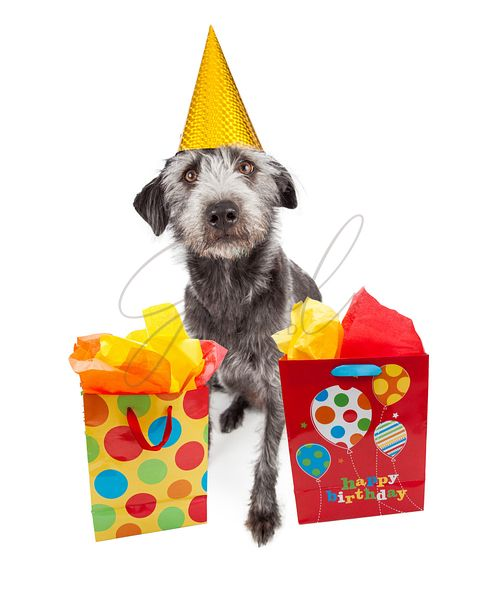 Dog Wearing Party Hat With Birthday Gifts