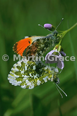 Pair of Orange Tip butterflies (Anthocharis cardamines) mating on Lady's Smock (Cuckoo Flower) (Cardamine pratensis), Cumbria...