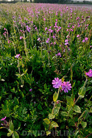 Red Campion Silene dioica growng along wildflower strip bordering arable field Norfolk May
