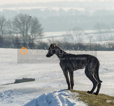 Lurchers in the snow