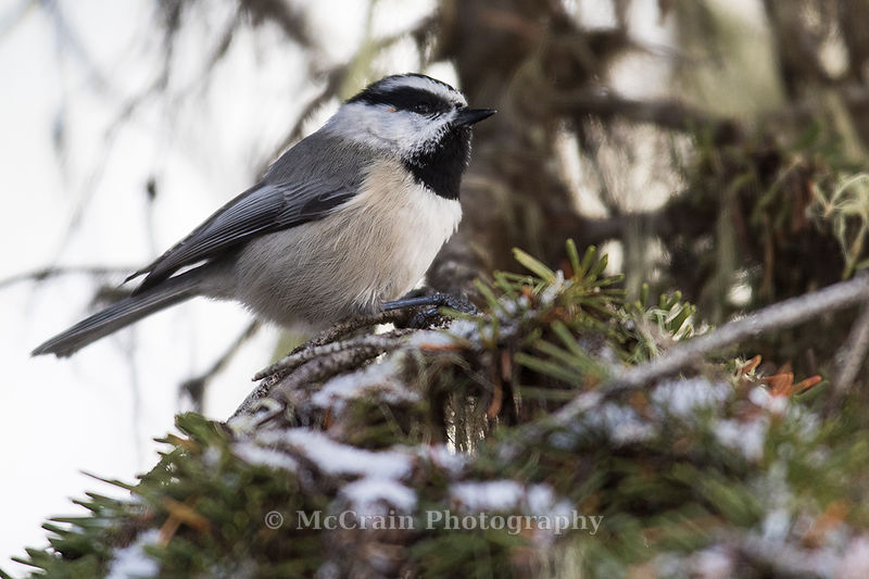 This Mountain Chickadee was part of a mixed flock of Mountain and Boreal Chickadees, Red-breasted Nuthatches, and Golden-crow...