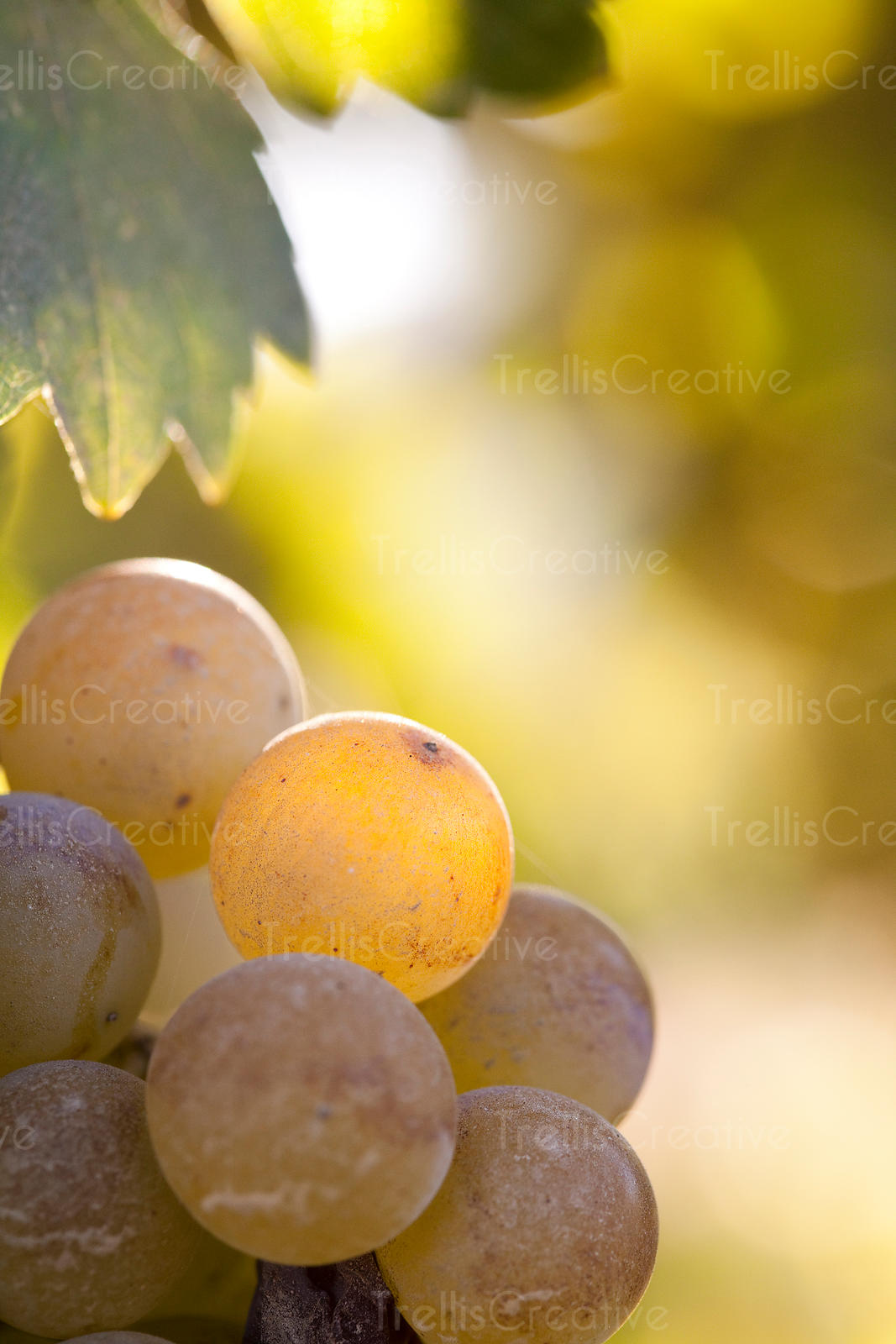 Close-up of golden white wine grape clusters