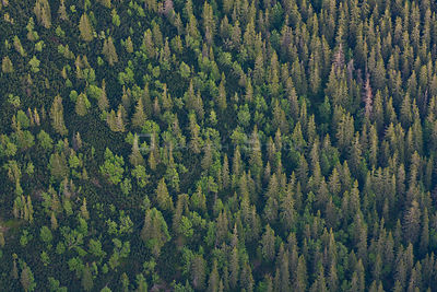 Aerial view the transition from mountain forest with Norway spruce (Picea abies) and Mountain ash / Rowan (Sorbus aucuparia) ...