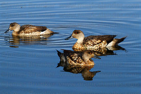 Adult Andean Crested ducks ( Lophonetta specularioides alticola )