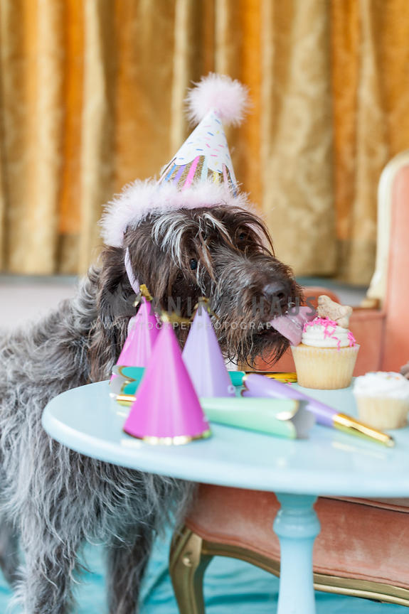 Scruffy senior dog licking cupcake for her birthday