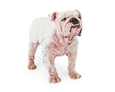 White Bulldog With Late Stage Mange