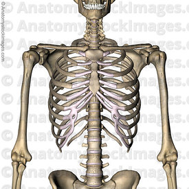 torso-ribcage-ribs-costae-costal-cartilage-floating-rib-sternum-front