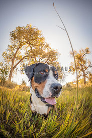 greater swiss mountain dog outside in grass