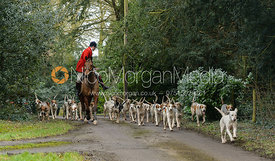 Cottesmore hounds leaving the Cottesmore Hunt meet at Little Dalby Hall
