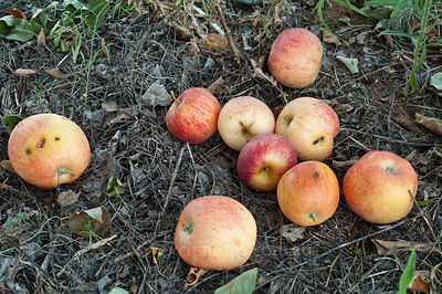 Apples rotting on ground