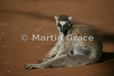 Dozing Ring-Tailed Lemur (Lemur catta) sitting in a very uncomfortable-looking position, Berenty Reserve, Madagascar