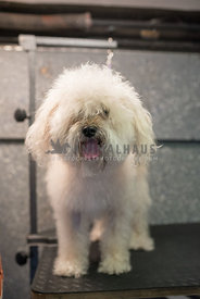poodle mix dog with crazy hair waiting to get haircut in mobile grooming unit