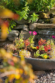 Annuals in stone container including primroses & Lobellia