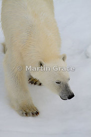 Polar Bear (Ursus maritimus) on sea ice