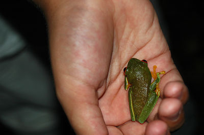 Red-Eyed Tree Frog in a Child's Hand