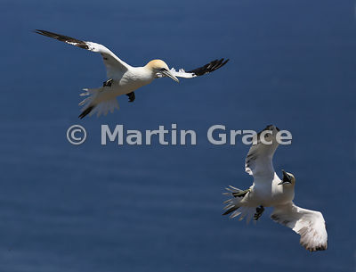 Two Northern Gannets (Morus bassanus) in flight, one reacting with fear or aggression, Bempton Cliffs (RSPB), East Riding of ...