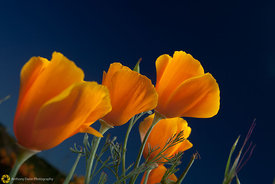 California Poppies #20