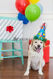 Cute dog wears party hat for birthday party