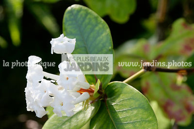 Rhododendron suaveolens Sleumer, Ericaceae, Section Euvireya, Arbuste tropical, Parfois épiphyte, Feuillage persistant, Inflo...