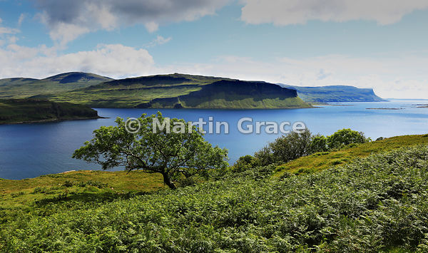 Rugged volcanic landscape of the cliffs of Aoineadh Mor, Ardmeanach, over Loch na Keal, with an Ash tree (Fraxinus excelsior)...