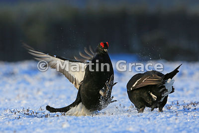 Male Black Grouse (Lyrurus (Tetrao) tetrix) attacking a rival on the lek, Royal Deeside, Scotland